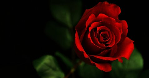 3D Love Rose Wallpapers
