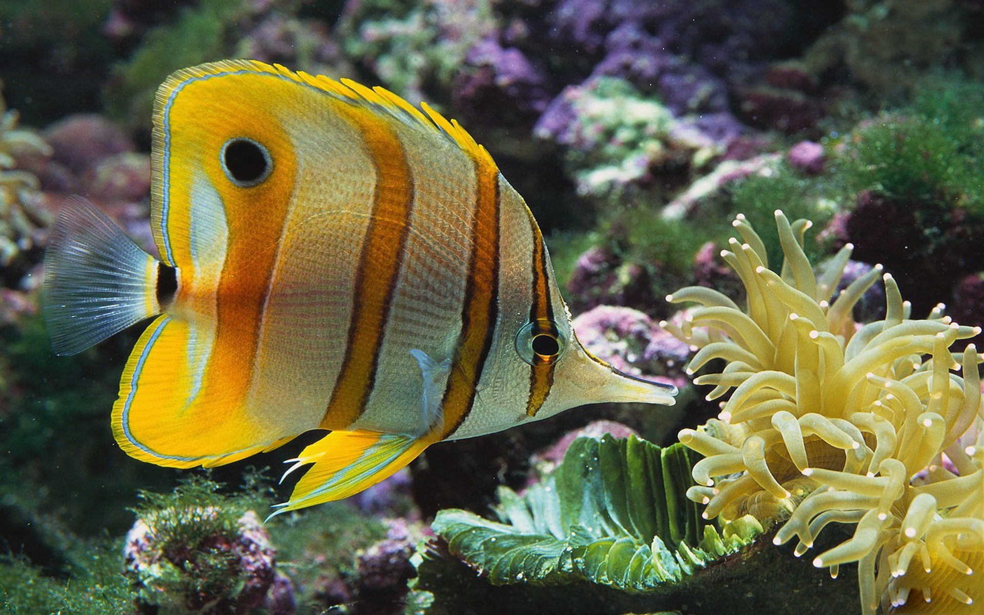 Butterflyfish Wallpapers