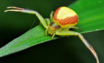 Crab Spider Wallpapers