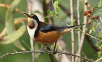 Eastern Spinebill Wallpapers