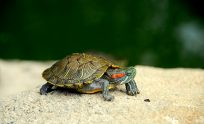 Free Turtle Wallpapers
