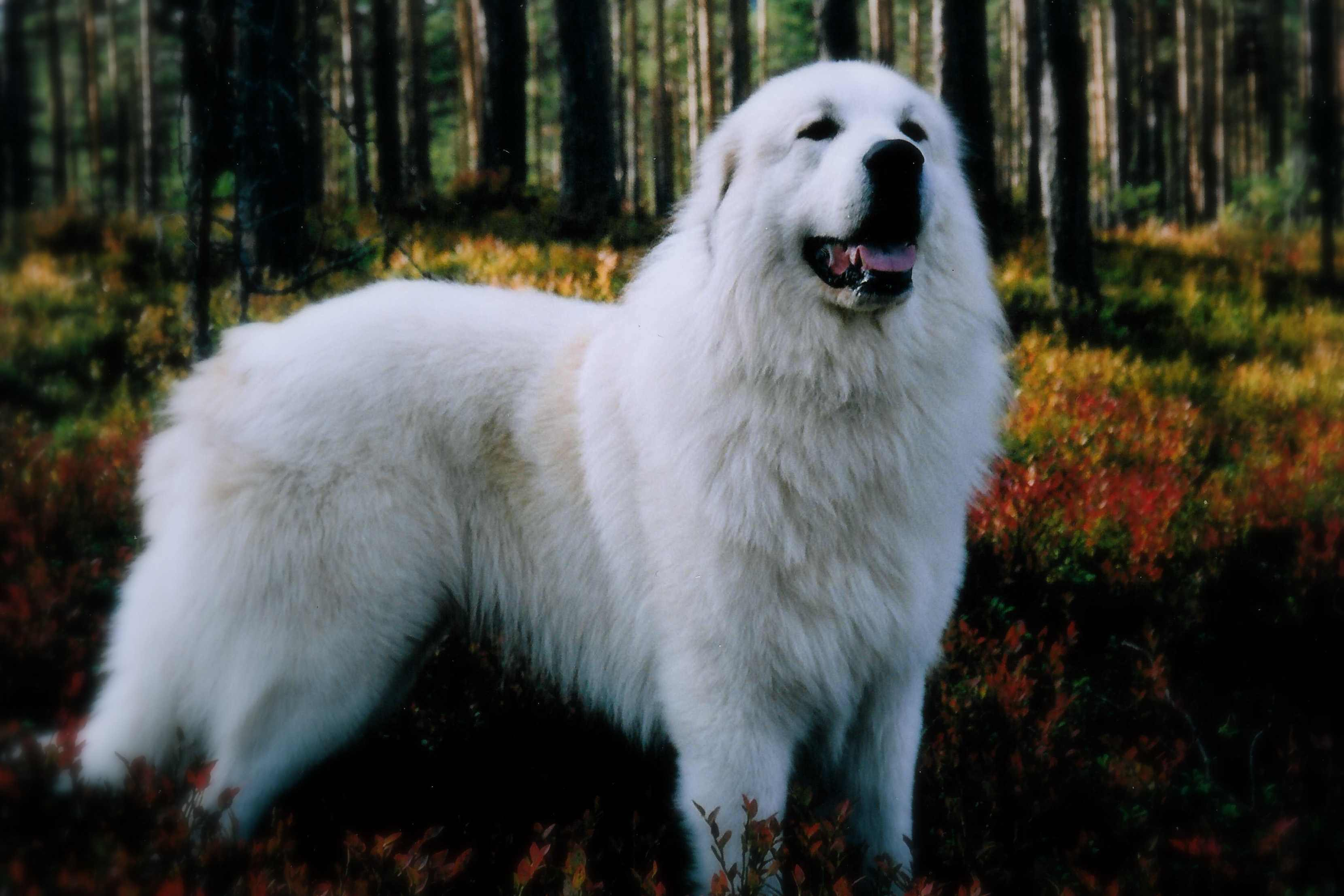 Great Pyrenees Wallpapers