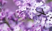 Lilacs In Bloom Wallpapers