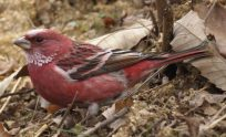 Rosefinch Wallpapers