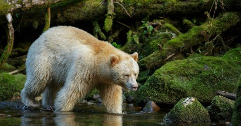 Spirit Bear Wallpapers