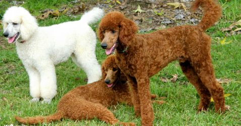 Standard Poodle Wallpapers
