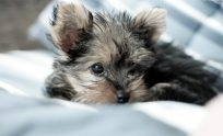 Teacup Yorkie Wallpapers