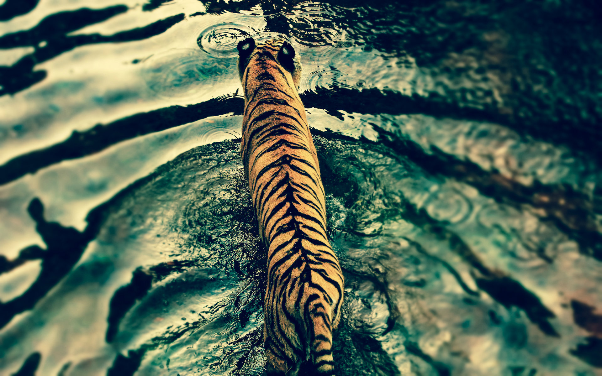 Tiger Wallpapers For Laptops
