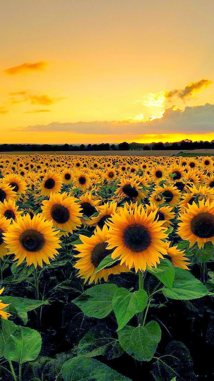 Wallpapers Sunflower