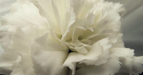 White Carnation Wallpapers
