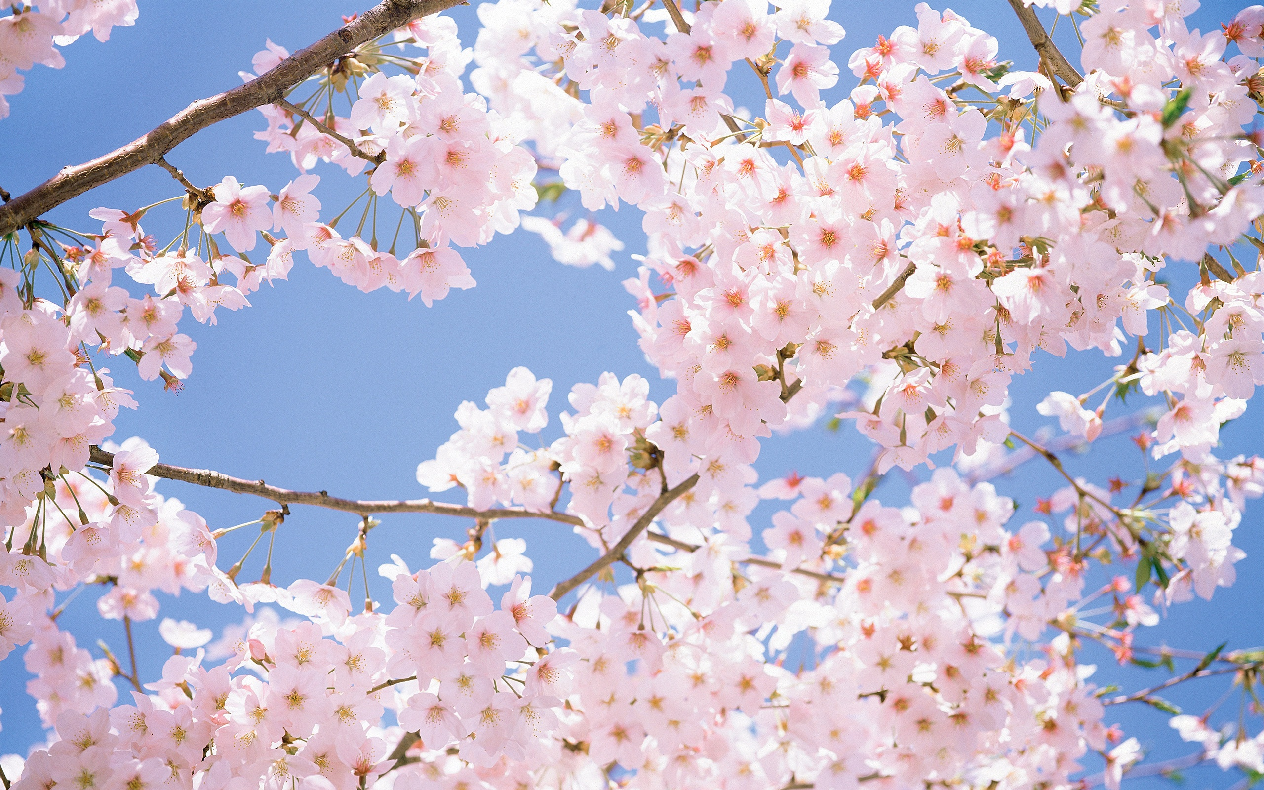 Cherry Blossom Tree Desktop Wallpapers
