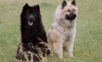 Eurasier Wallpapers