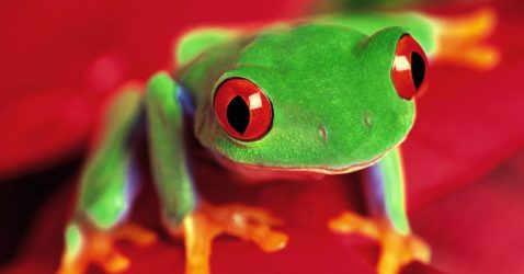 Frog Wallpapers