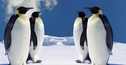 King Emperor Penguins Wallpapers