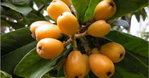 Loquat Berries Wallpapers